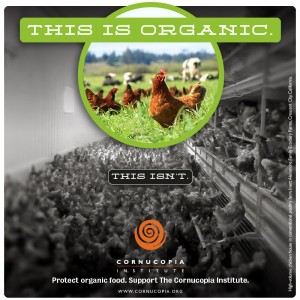 this-is-organic.chickens