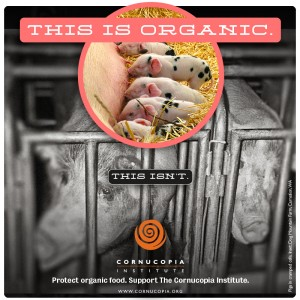 this-is-organic.pigs